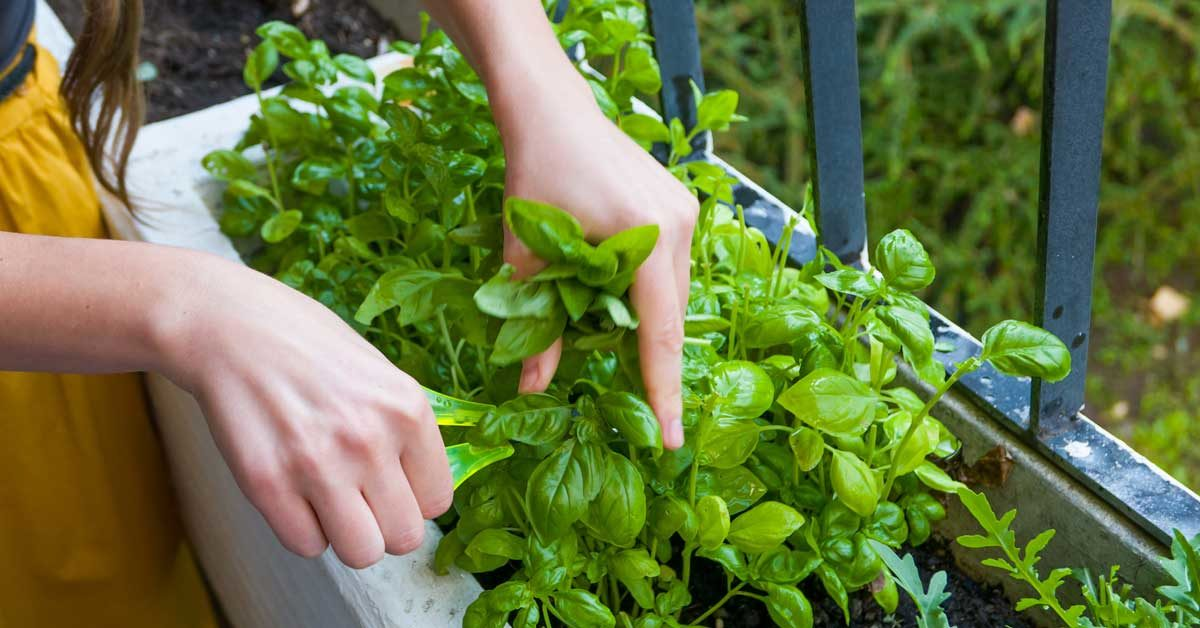 What Is ¼ Cup Fresh Basil To Dried